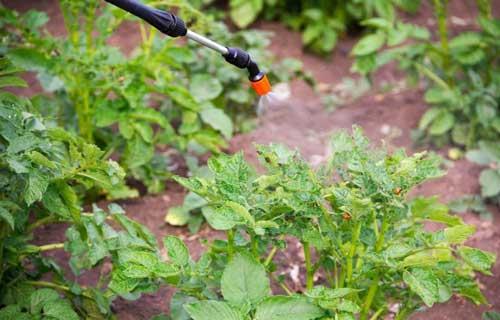 what kills potato bugs in garden